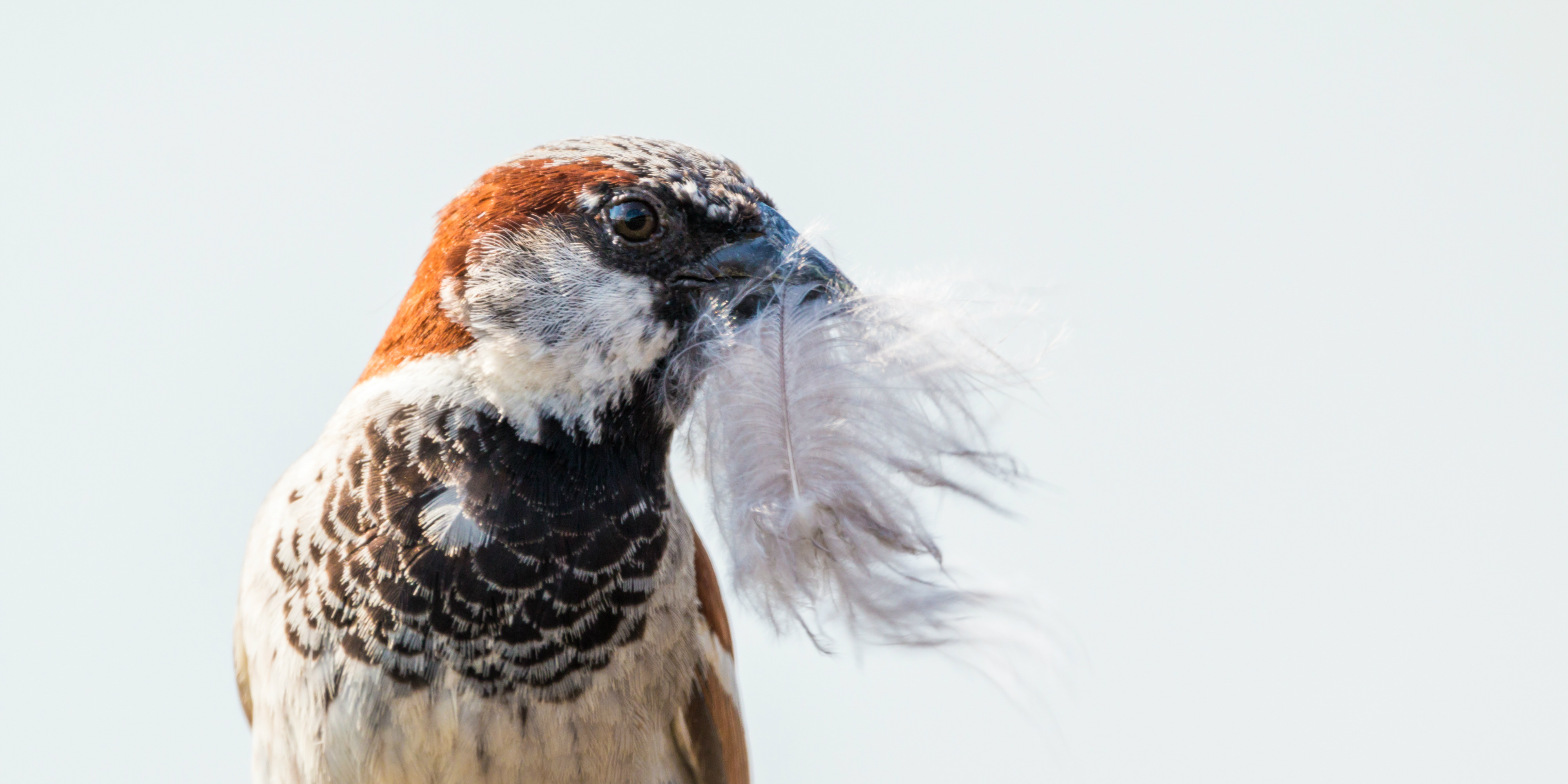 A bird collects feathers to provide insulation in its nest   eco-friendly tourism.