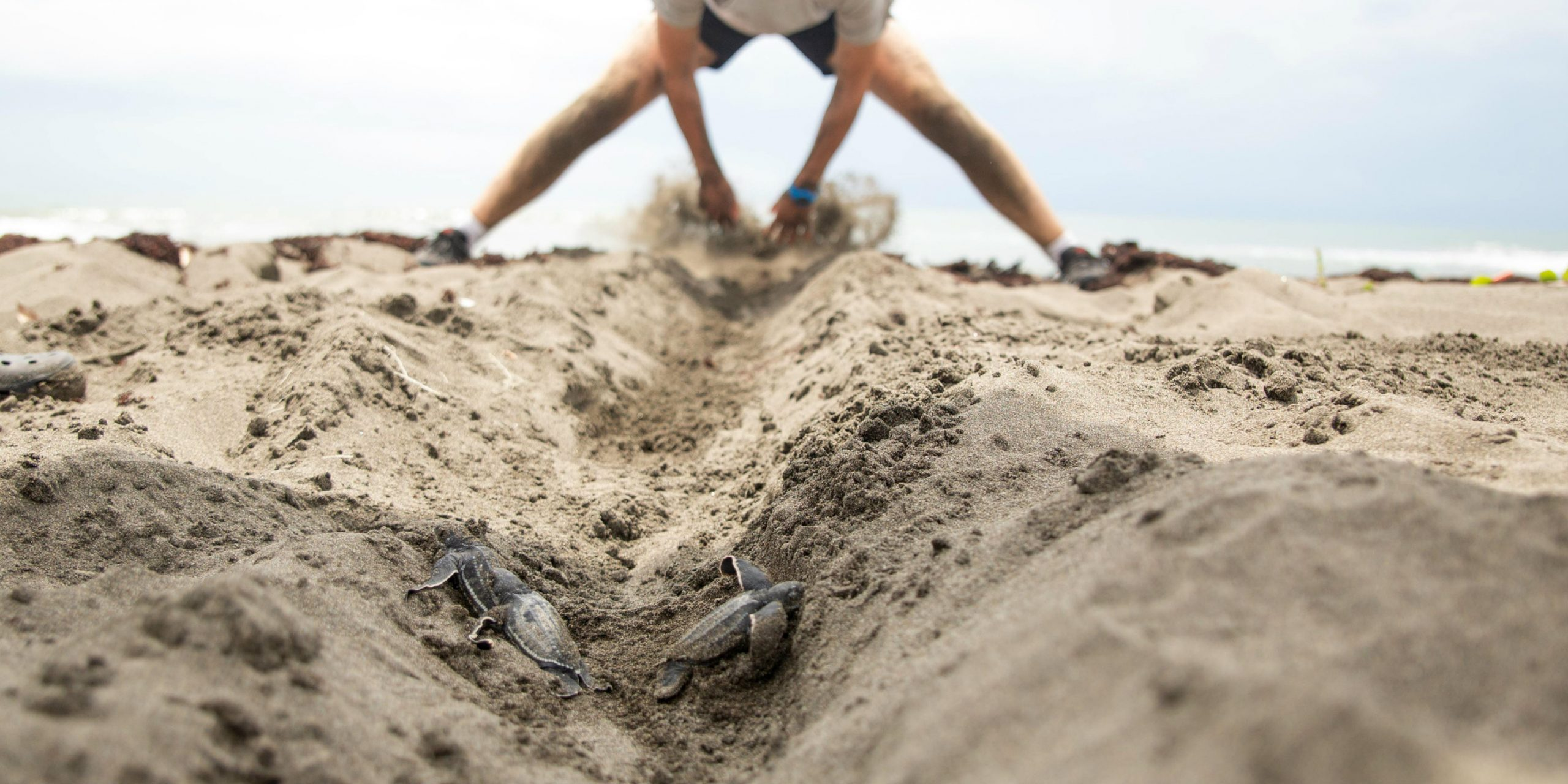 a marine conservation volunteer clears the path for a baby sea turtle